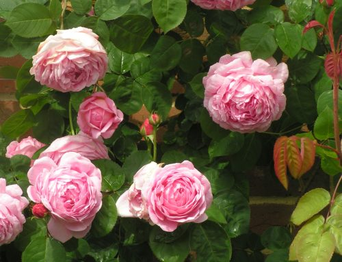 10 Top Scented Roses of the 20th Century