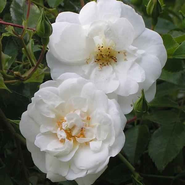 Sanders White Rambler - White Rambling Rose