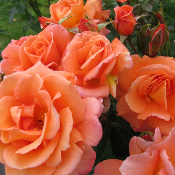 Scent From Heaven - Orange Climbing Rose
