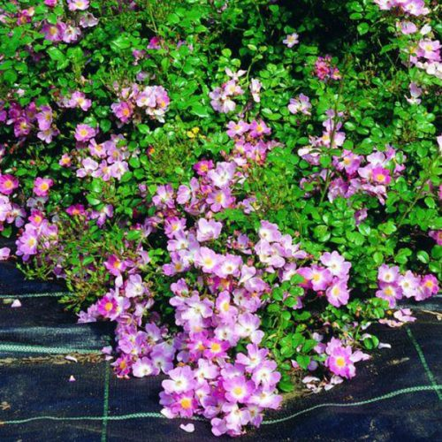 Scented Carpet - Purple Ground Cover Rose