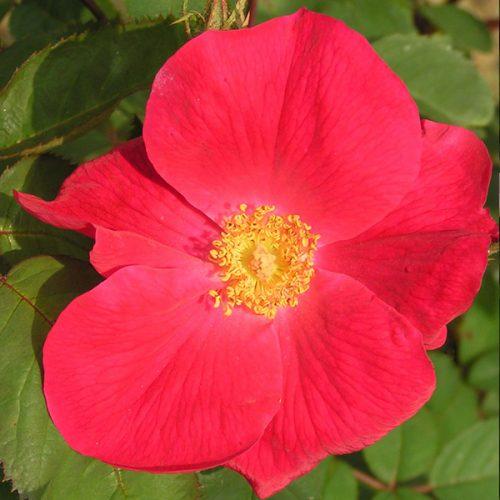 Scharlachglut - Red Shrub Rose