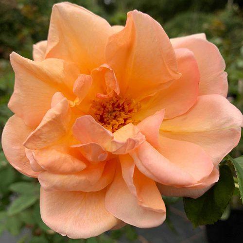 Schoolgirl - Climbing Rose.
