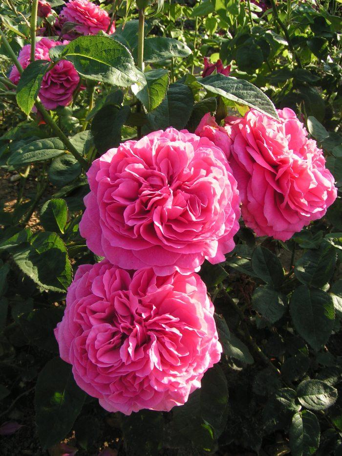 Simone, a new shrub rose named by Trevor White