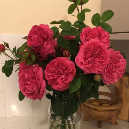Simone - Pink Shrub Rose