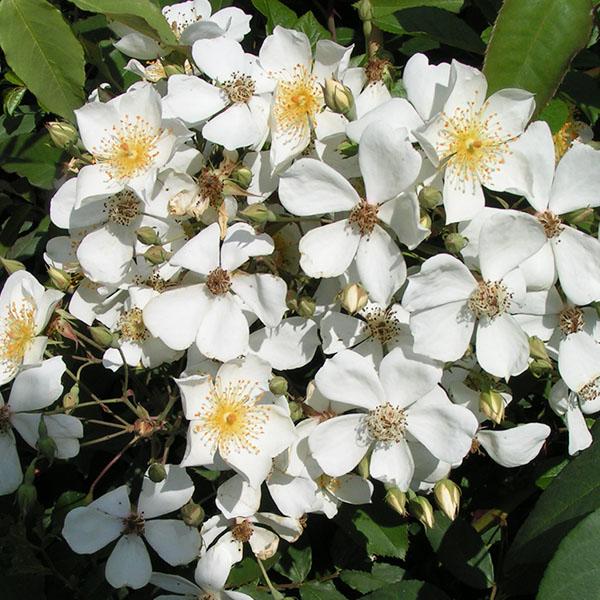 Sir Cedric Morris - White Rambling Rose