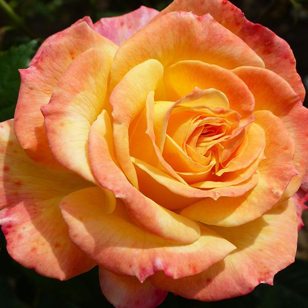 Smiles - Striped Bush Rose