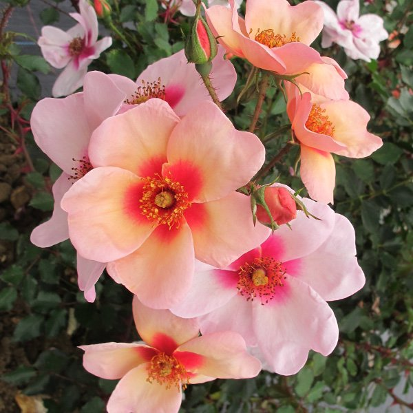 Apricot pink single blooms with central red blotch