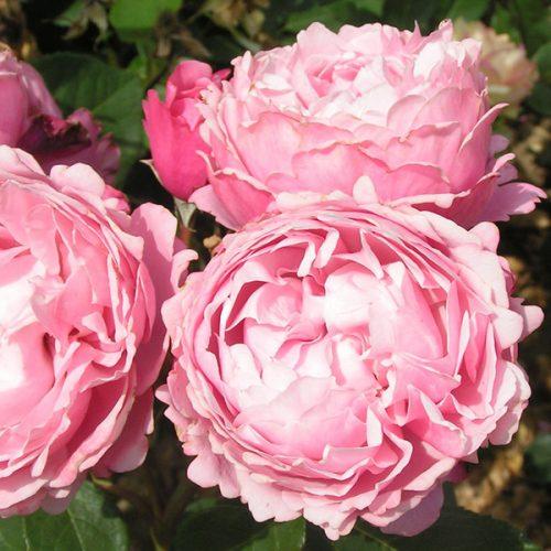 Soeur Emmanuel - Pink Delabard Rose