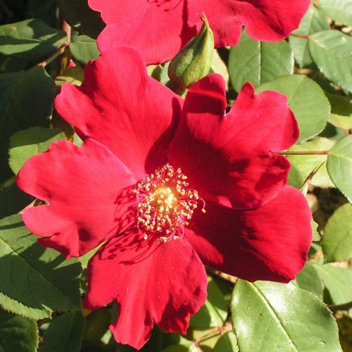 Solider Boy - Red Climbing Rose