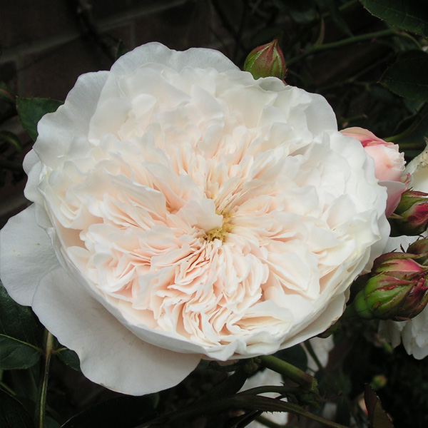 Sombreuil - White Climbing Rose