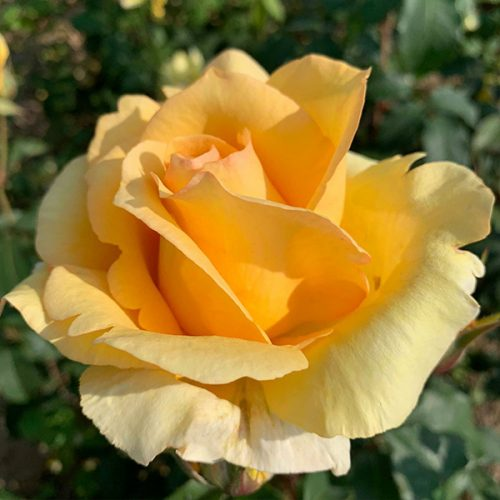 Sophia Rose is an elegant yellow Renaissance Rose.