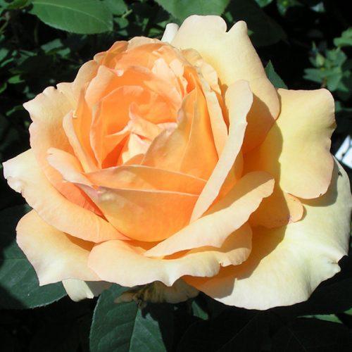 Sophia - Apricot Renaissance Rose