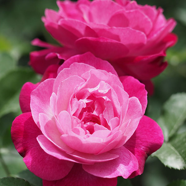 Sophie's Perpetual - Pink China Rose