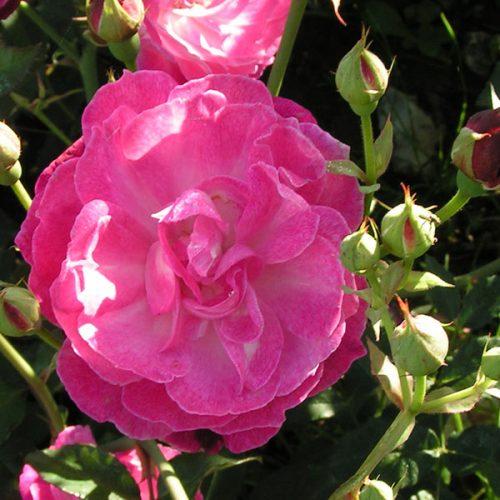 Sophie's Perpetual - Pink China Rose