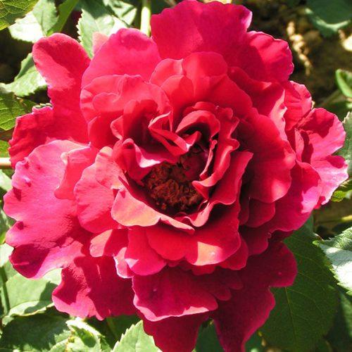 Souvenir de Claudius Denoyel - Red Climbing Rose