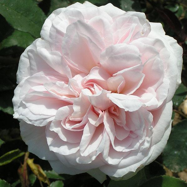 Souvenir de la Malmaison - Bourbon Rose