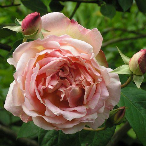 Souvenir de Mme. Leonie Viennot - Climbing Rose