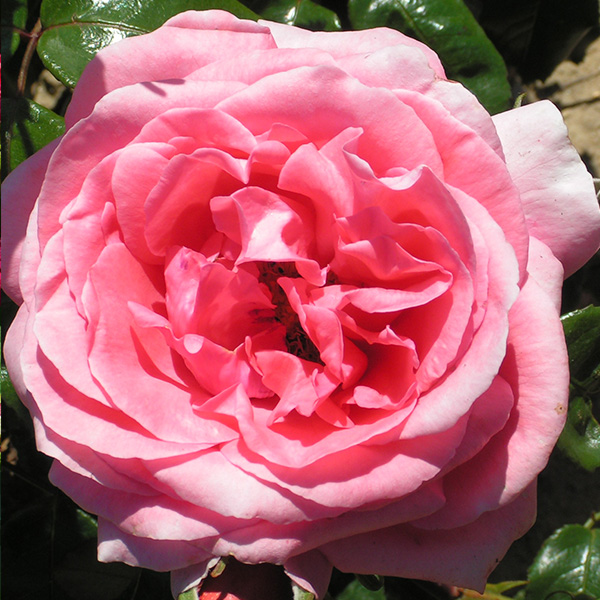 Special Anniversary - PinK Bush Rose