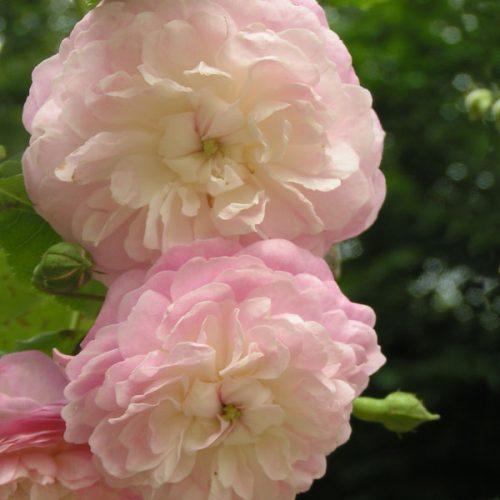 Spectabilis - Pink Rambling Rose