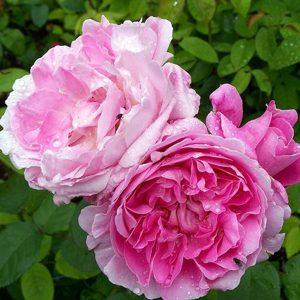 Spong - Pink Centifolia Rose