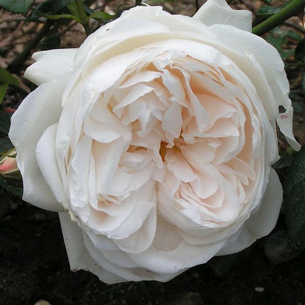 Summer Memories - White Shrub Rose