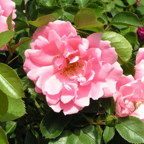 Surrey - Pink Ground Cover Rose
