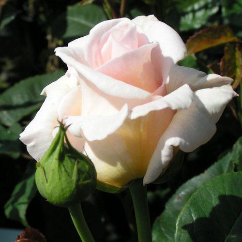 Swan Lake - Pink Climbing Rose