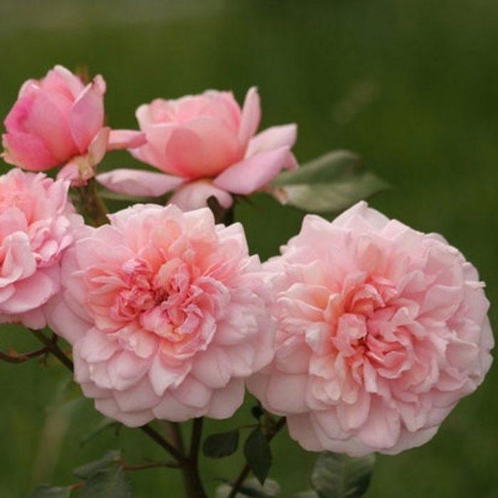 Irene Watts - Pink Tea Rose