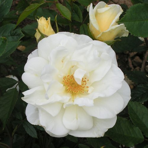 Tall Story - White Shrub Rose