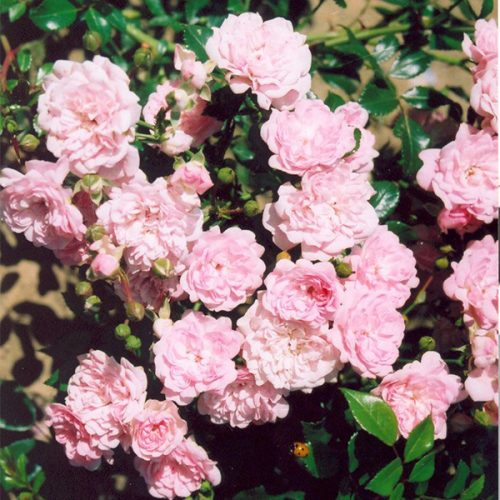 The Fairy - Pink Shrub Rose