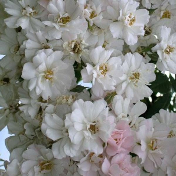 The Garland - White Rambling Rose