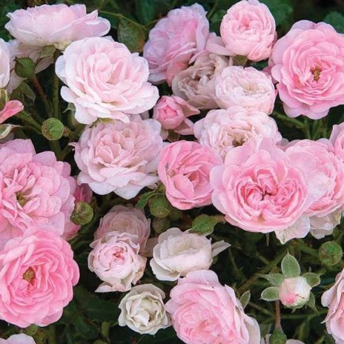 The Fairy is a pink double flowered shrub rose.