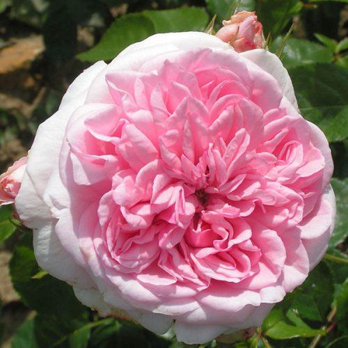 Times Past - Pink Climbing Rose