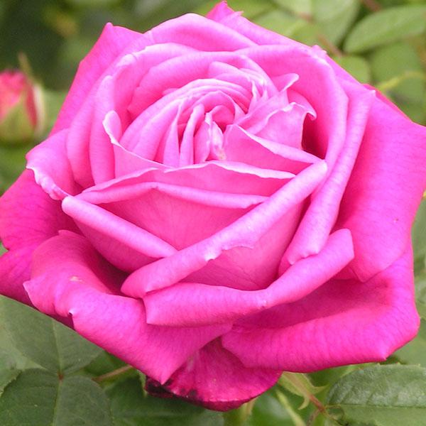 Tom Wood - Pink Hybrid Perpetual Rose