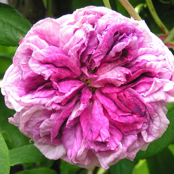 Tour de Malakoff - Pink Centifolia Rose