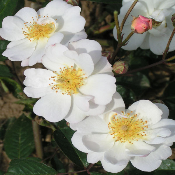 Trier - White Rambling Rose