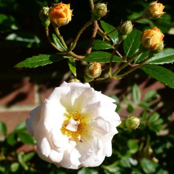 White Rambling Rose Ghilsaine de Feligonde