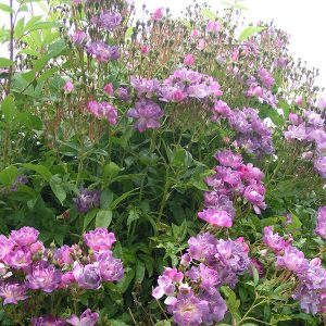 Veilchenblau - Purple Rambling Rose