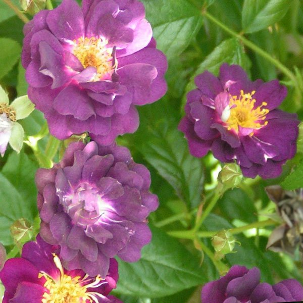 Violette - Purple Rambling Rose