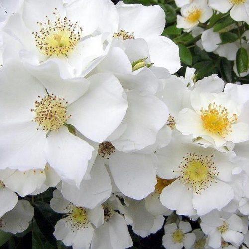 Wedding Day a white Rambling Rose