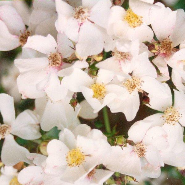 Wedding Day - White Rambling Rose