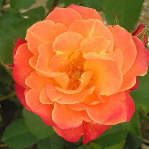 Westerland - Orange Shrub Rose