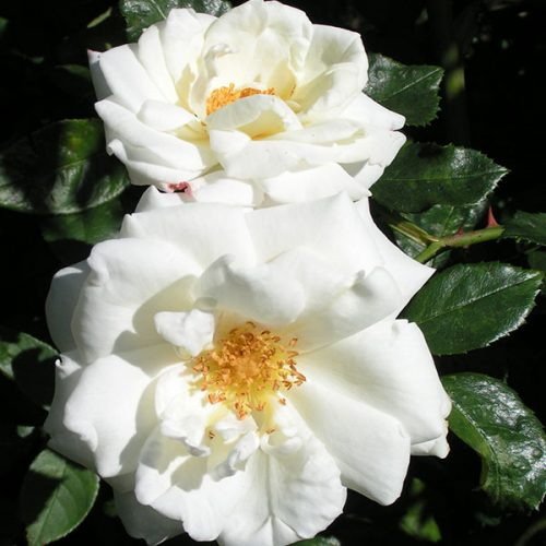 White Cockade - White Climbing Rose