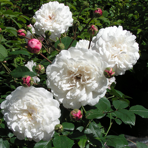 White Pet - Shrub Rose