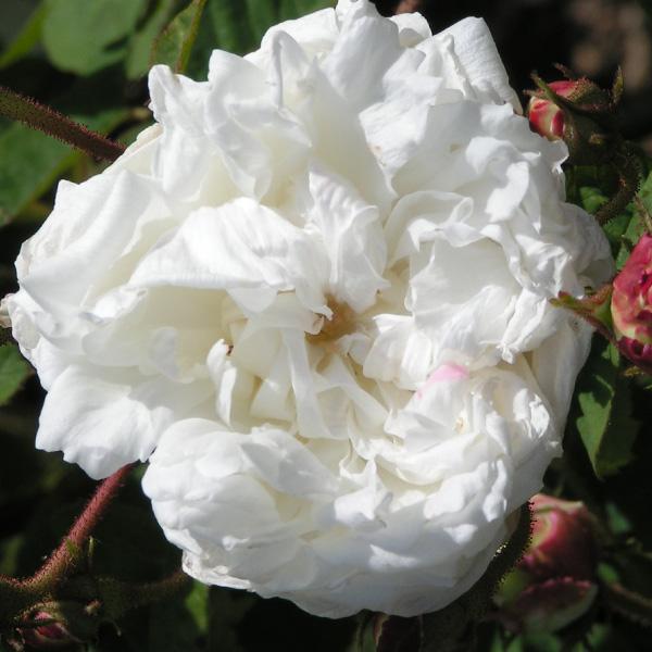 White Provence - Centifolia Rose