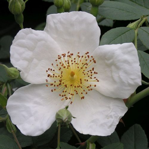 Wickwar - White Rambling Rose