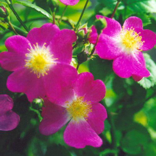 William Tyndale - Rambling Rose