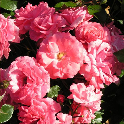 Wiltshire - Pink Ground Cover Rose