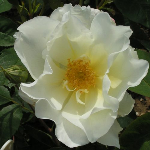 Windrush - Yellow Shrub Rose