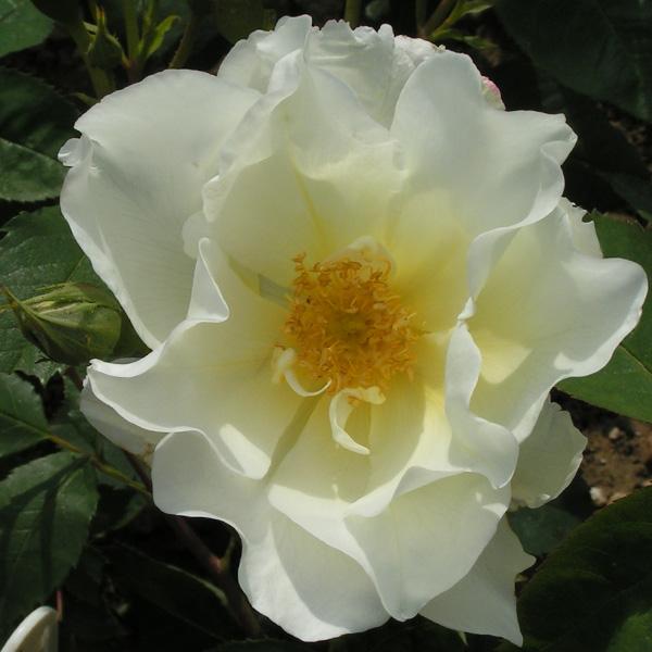 Windrush - Yellow Shrub Rose